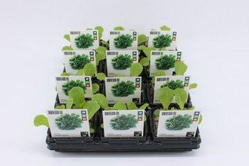 Groente- planten (6-pack)