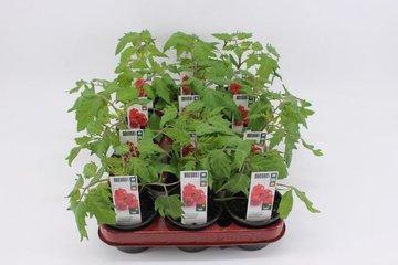 Groente- planten in pot 9 cm