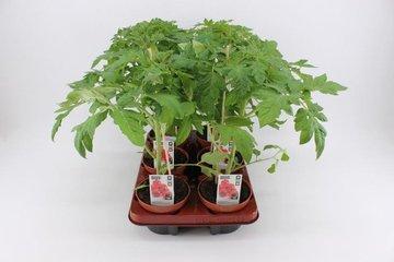 Groente- planten in pot 12 cm