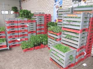 Groente- planten (140/kist)