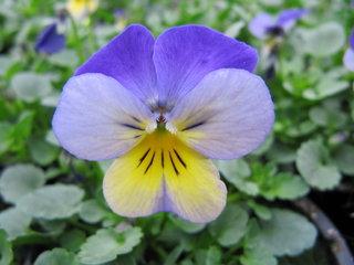 Kleinbloemige violen