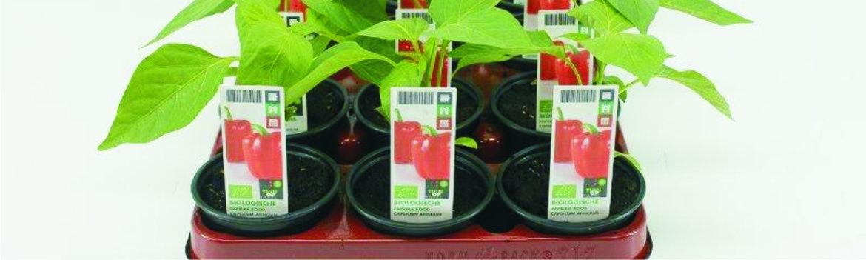 Groenteplanten-(overig)