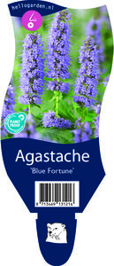 Agastache 'Blue Fortune'
