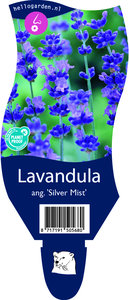 Lavandula angustifolia 'Silver Mist'