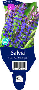 Salvia nemerosa 'Ostfriesland'