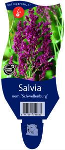 Salvia nemerosa 'Schwellenburg'