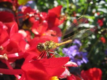 Libelle op begonia