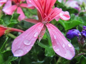 Geranium Oostenrijker roze