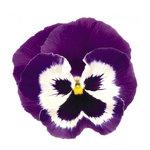 Violet White Face
