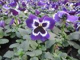 Violet White Face_