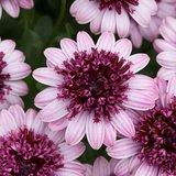 Dubbel: roze / donkerroze_