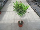 Nerium op stam (Oleander) - roze (21 cm pot)_