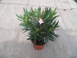 Nerium als struik (Oleander) - roze (19 cm pot)_