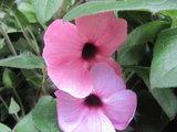 Thunbergia roze (19 cm pot)_