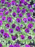 Violet Blue Face_