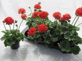 Staande Geranium Liske - rood_