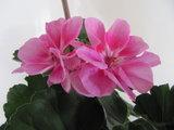 Staande Geranium Raiko - licht lila met purper oog_