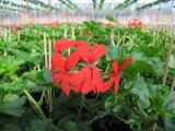 Hang Geranium Decora - rood_