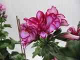 Hang Geranium Nixe - rood met wit_