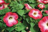 Surfinia - roze met lichthart_