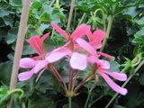 Hang Geranium Decora - roze_