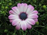 Roze met wit_