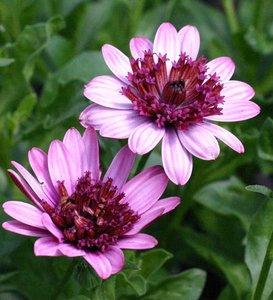 Dubbel: roze / donkerroze