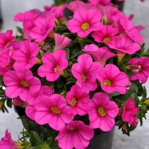 Calipetite - roze