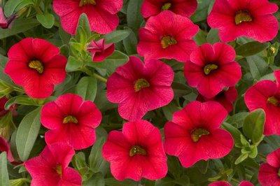 Calipetite - rood