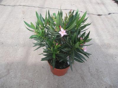 Nerium als struik (Oleander) - roze (19 cm pot)