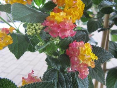 Lantana geel-roze (19 cm pot)