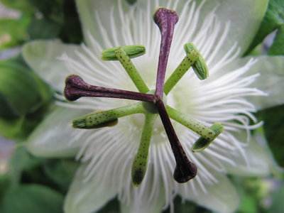 Passiflora - wit (19 cm pot)