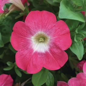 Surfinia - roze met lichthart