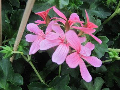 Hang Geranium Decora - roze