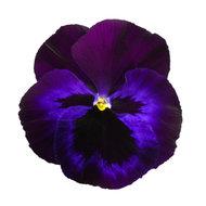 Violet Blue Face